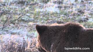 Bears and Wolves fighting for Dinner