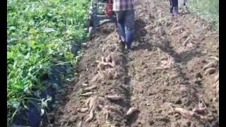 [대신종합농기계]고구마수확기(경운기용)DS-650[Da…