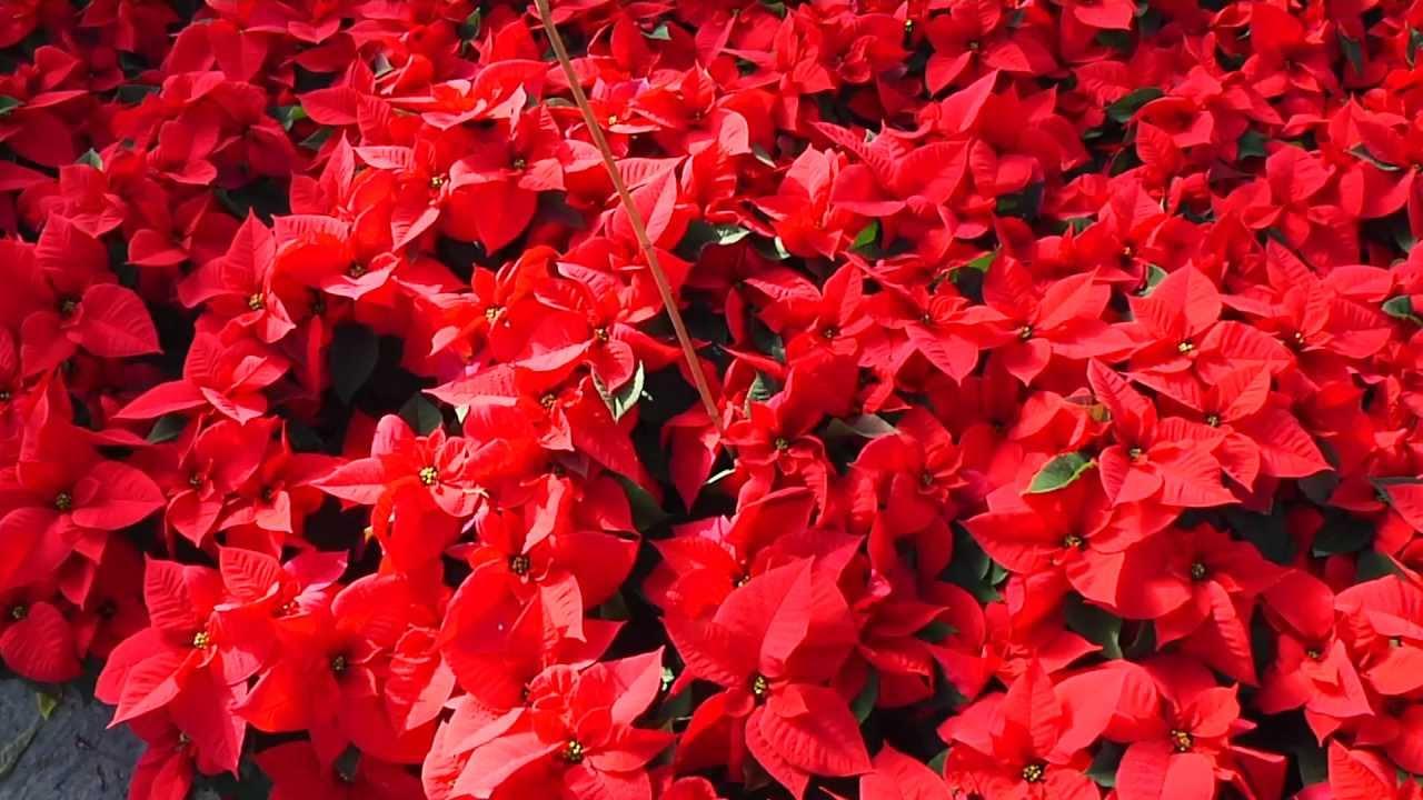 Cuidados planta de navidad cuidados de la planta de - Cuidados planta navidad ...