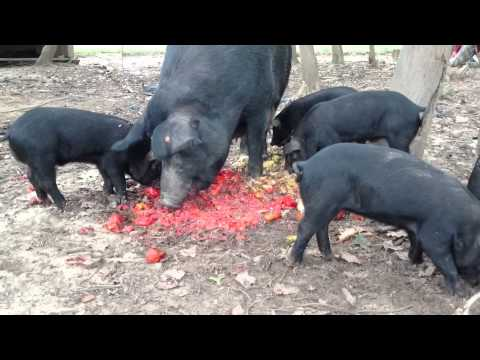 HangBelly Ranch | Pigs | High Quality Pigs Naturally Raised and ...