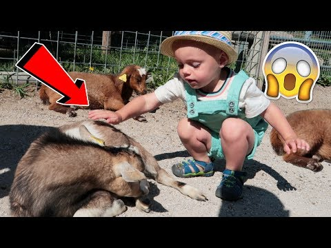 CALVIN GETS SURROUNDED BY GOATS! 😱 What Happens Next? SURPRISING RESULTS!