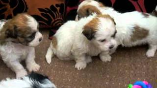 Zuchon Bichon X Shih Tzu Puppies For Sale July 2011