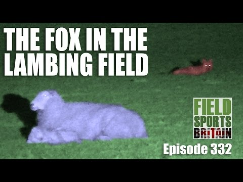 Fieldsports Britain - The Fox in the Lambing Field