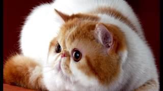 Порода кошек. Экзотическая короткошерстная  кошка.Есть небольшая схожесть с персидской породой.
