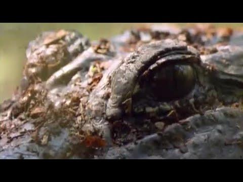 Can alligators help shed light on human fertility problems? - BBC Animals