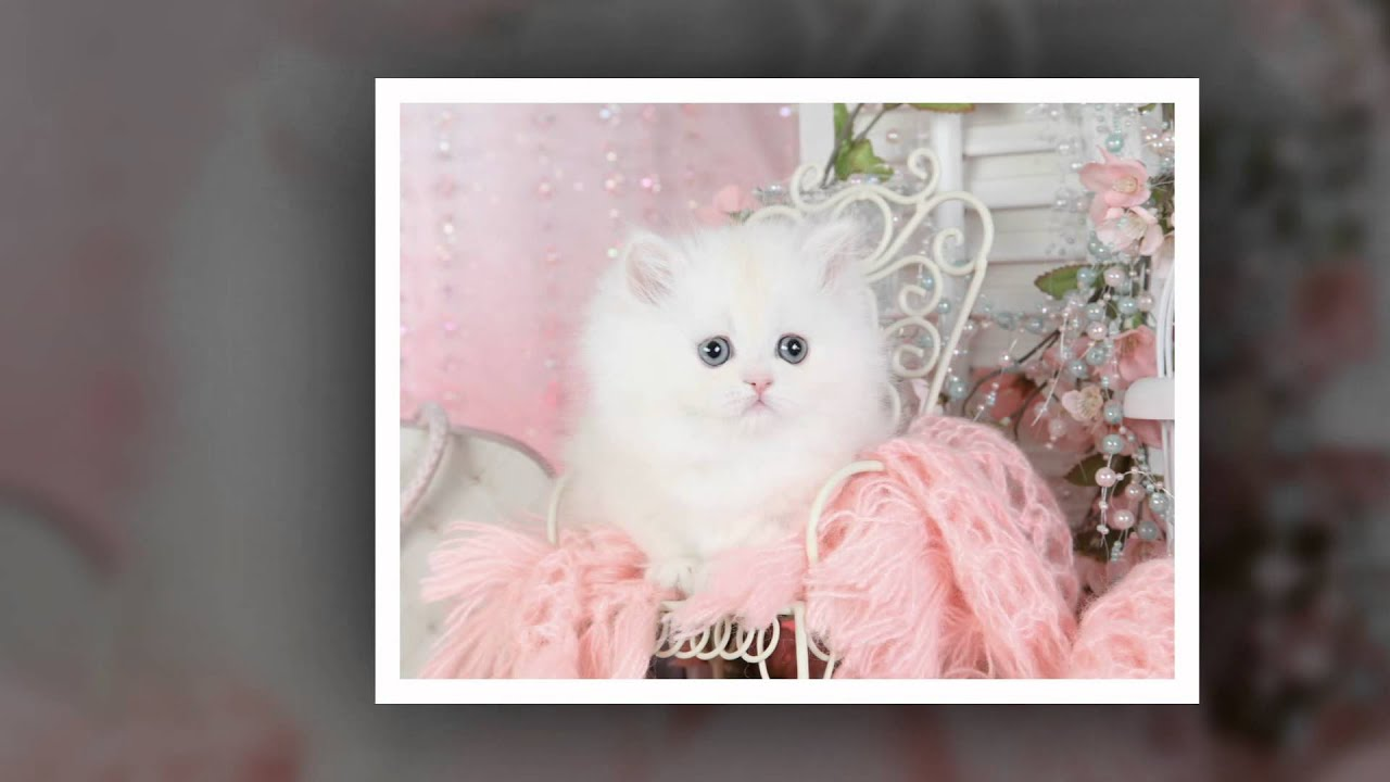 Rug Hugger Persian Kitten   Cloud Nine   YouTube