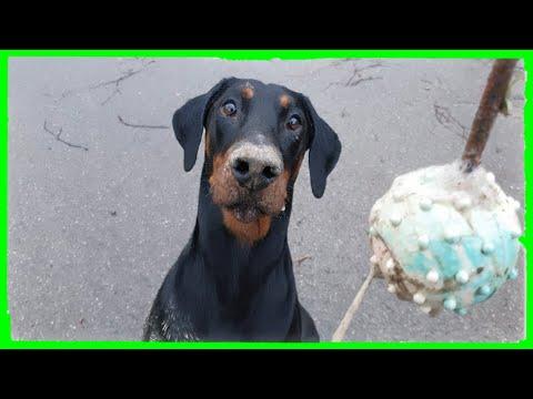 Der Aller Letzte Wurfball - Dobermann