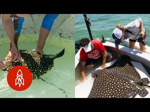 Discovering the Mystery of the Eagle Ray