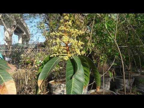 How To Take Care Mango Tree In A Pot Hindi