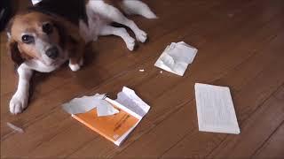 今回は意図的に飼い主の本を喰らった感のある犬!ビスケ!!・・・・こ...