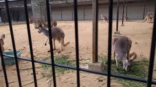 【ASMR 】カンガルーさん草を食べる咀嚼音(王子動物園) [ASMR] Mr. Ka...