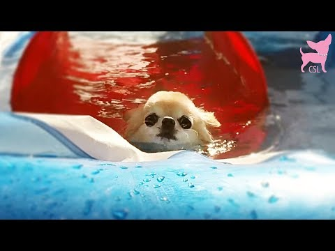 Cute Chihuahua Dogs Swimming Pool Fun