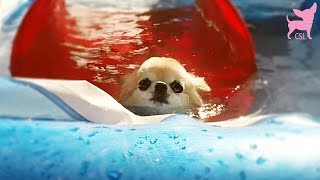 Cute Chihuahua Dogs Swimming Fun