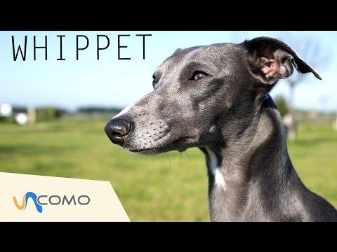 El perro Whippet