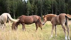 HEVOSIA. Hevosvarsat laitumelle. Ratsuhevosia. Luontokuvia.Horses. Horses on pasture.