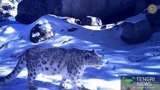 Снежного барса сняли фотоловушки в Заилийском Алатау
