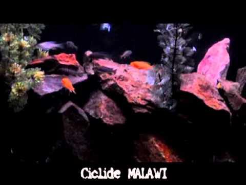Acvariu CICLIDE MALAWI
