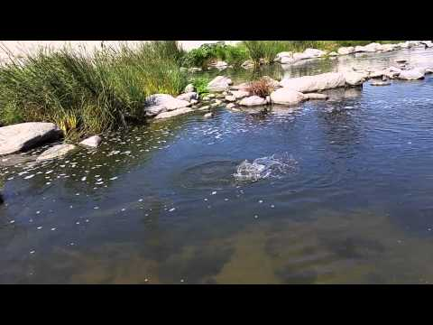 Fly fishing for carp in the los angeles river doovi for Fishing in los angeles