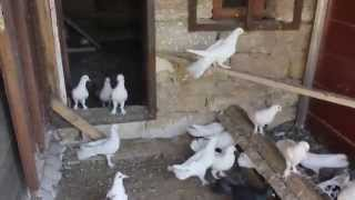 Baki Goyercinleri Бакинские Голуби Baku Pigeons Ruslan 2014