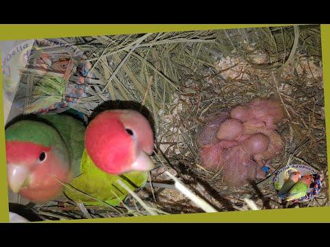 Agapornis Roseicollis. Limpieza de los nidos, revisión de las anillas y de los buchesitos.