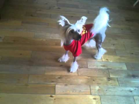 Prince the Chinese  Crested dancing