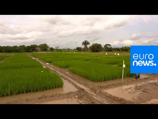 GLOBAL JAPAN | Take a trip through Colombia's rice-growing