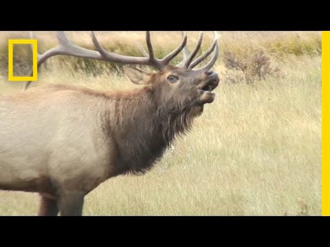 Listen: These Elk Sound Terrifying, Like Ringwraiths | National Geographic