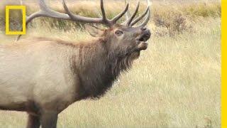 Listen: These Elk Sound Terrifying, Like Ringwraiths | National Geographic