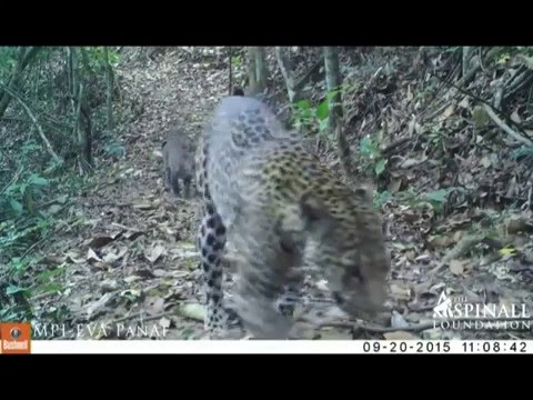 Leopard and cubs caught on camera trap in Gabon