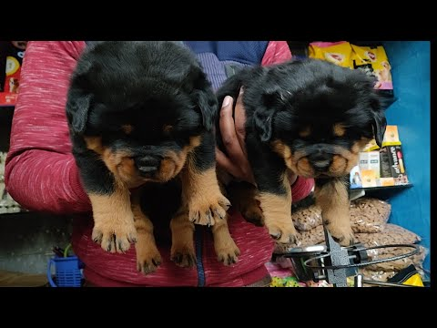 Rottweiler KCI Certified Champion bloodline puppy available..- Doggyz World