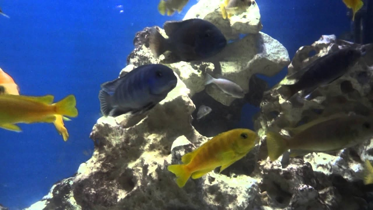 aquaray led aquarium lights on malawi tank youtube. Black Bedroom Furniture Sets. Home Design Ideas