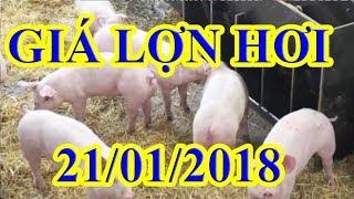 Giá lợn hơi hôm nay | Giá lợn hơi ngày 21/1/2018 | Tin Tức 24h