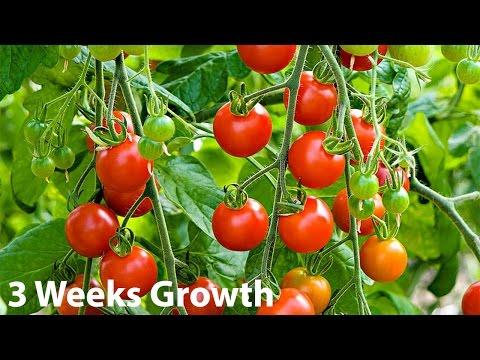 Supersweet 100 Organic Cherry Tomato Plant, 3 Week Update