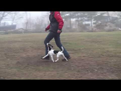 Parson Russell Terrier Obedience Unterordnung