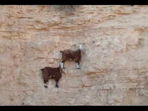 Козлы скалолазы / goats climbers
