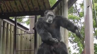 Chiba Zoological Park 千葉市動物公園 monkey dance,Pan troglodytes,a...