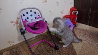 Чем Кошка Хлоя Любит Играть? Игрушки для Котов и Кошек 😻 Котики 🐱 Scottish Fold Cat
