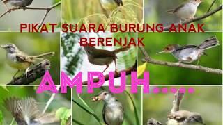 Gambar cover SUARA BURUNG PEMIKAT DI JAMIN AMPUH