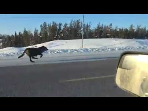 Wolves running on the highway