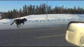 「こっち見んな!」凍り付くカナダのハイウェイを疾走するオオカミたち