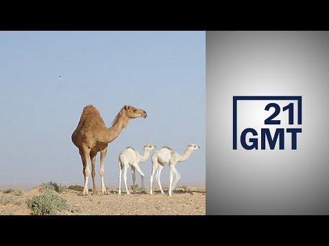 الصحراء الغربية.. رعي قطعان الإبل باستخدام -جي بي إس-  - نشر قبل 15 ساعة