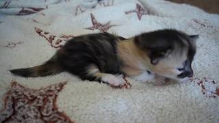 очень малюсенький котенок учится ходить