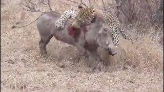 Macan Tutol Afrika Menerkam Mangsanya Babi Hutan Super Besar