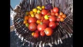 Greenhouse Crops Last Of The Year Tomato Tangerine Dream Chili