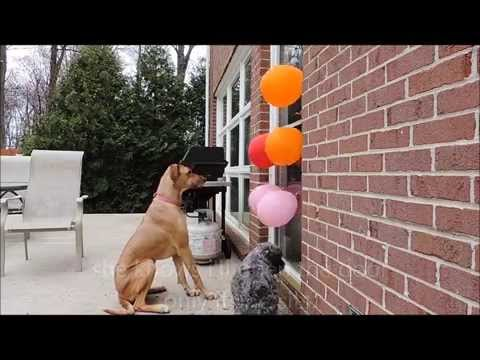 How to Stop Your Dog From Jumping on the Door Using Balloons!