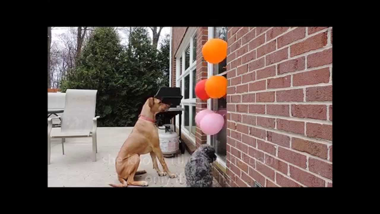 How To Stop Your Dog From Jumping On The Door Using Balloons Youtube