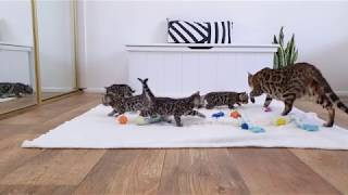 Bengal Kittens | Leaving the nest for the 1st time | Mum Bengal Cat Watching her Kittens