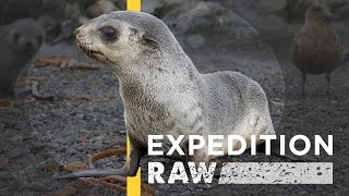 Seal Pups: Ferociously Cute and Worth Protecting | Expedition Raw