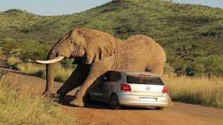 Hero Buffalo Kill A Lion While Defending Herself From Predators Nyati Alivyombatua Simba Mazimaa