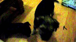 Border Terriers Puppy Bhoy